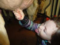 Frischer geht nicht - die Milch direkt von der Kuh trinken