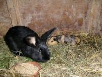 Hasen und Mehrschweinchen