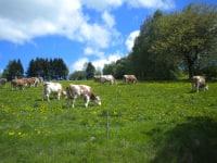 Auch die Kühe genießen den Frühling