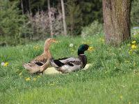 unsere Enten Hermann und Pieps