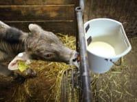 Milch für das Kälbchen