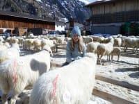 Schafausstellung 2014 in Huben