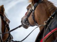 Pferde ziehen unseren Schlitten