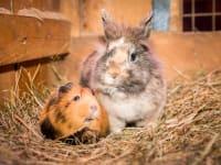 unser Hase und Meerschwein