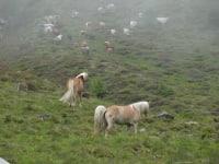 Pferde auf der Neubergalm