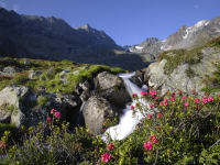 Natur pur- Alpenrosenblüte