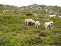Unsere Bergschafe im Urlaub im Grastal