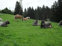 Dairy cows and Haflinger on the meadow