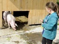 eine kleine Zwischenmahlzeit für die Schweine