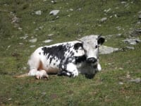 Pustertalersprinzen Kuh