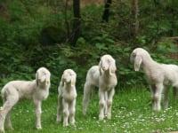 Nachwuchs im Schafstall