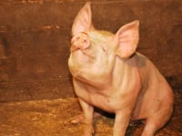 Unser Schwein Piggy