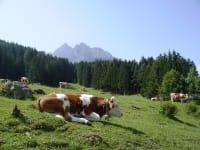 Kühe auf Sommerfrische