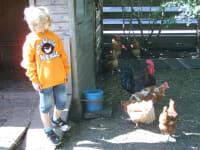 bei den Hennen