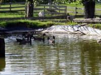 Schwimmteich mit Enten