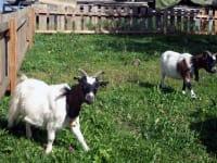 Unsere Ziegen Mimi und Heidi