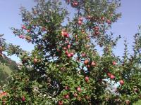 wie gut schmeckt so ein herrlich roter Apfel