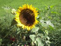 die Sonnenblume strahlt - und das Herz geht auf