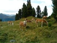 Haflinger on the alpine pasture