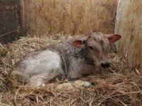 ein neugeborenes Kälbchen