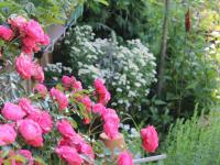 Rosen im Kräutergarten
