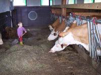 Kühe bei der Fütterung