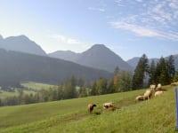 Schafe mit Bürglkopf