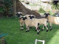 Schafe Flecklhof
