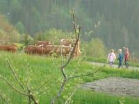 Kühe gehen auf die Weide