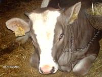 zufriedene Kühe im Stall am BIO-Bauernhof Hasenberg in Waidring