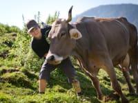 Kuh im Almsommer