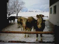 Kühe im Schnee
