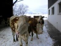Auch unsere Kühe lieben den Schnee