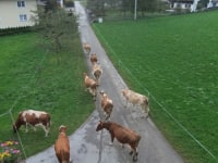 Cows head to the pasture