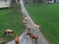 Vaches rentrant du pré