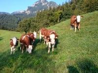Kälber auf der Weide
