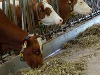 Die fleißigen Milch-Erzeugerinnen