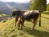 zur Zeit leben bei uns 8 Kühe mit ihren Kälbchen