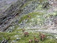 Steinböcke im Naturpark