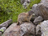 Murmeltiere - in freier Natur beobachten