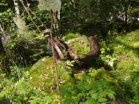 Schutzpflanze Engelwurz