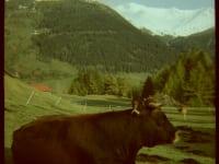 Kuh mit Bergblick