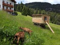 Hühnerwagen mit Ziegen