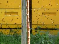 Bienen beim Ausflug