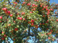 Die Apfel ist reif