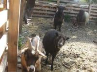 Mini-Schafe und Ziegen
