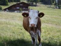 5 bis 6 Jungrinder vom Kristemoarhof verbringen den Sommer auf der Alm!