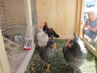 Die Hofhühner