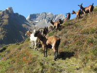 Ziegen im Froßnitztal