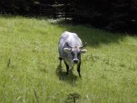 Bella - unsere graue Kuh!